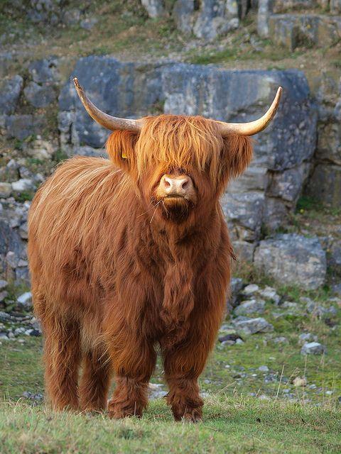 Highland Cow Cow Fluffy Cows Cute Cows