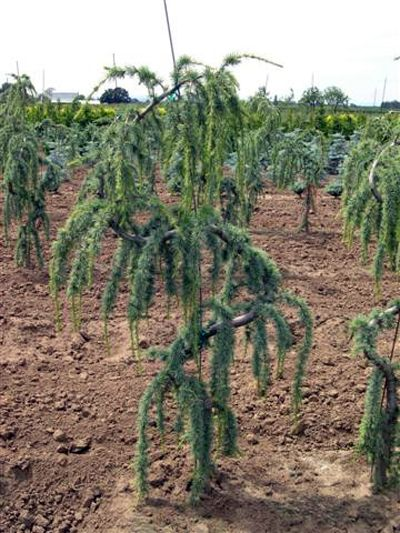 Serpentine weeping birch landscaping shrubs trees etc for Small ornamental weeping trees