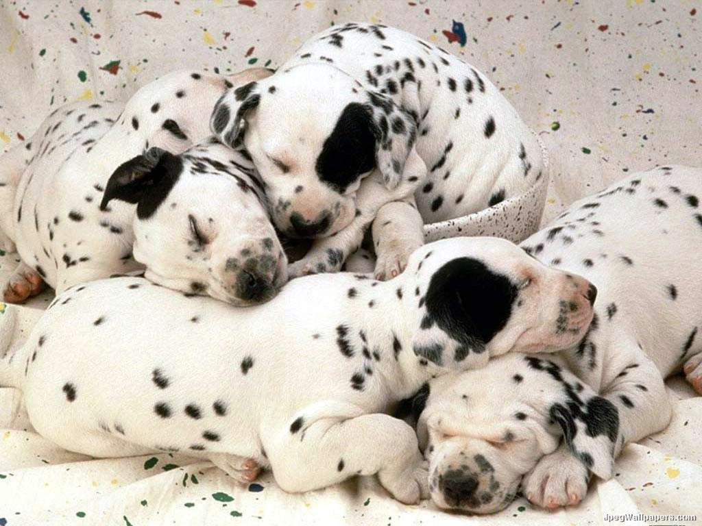 Little Dalmatians Wallpaper Cute Baby Animals Dalmatian Puppy Baby Animals