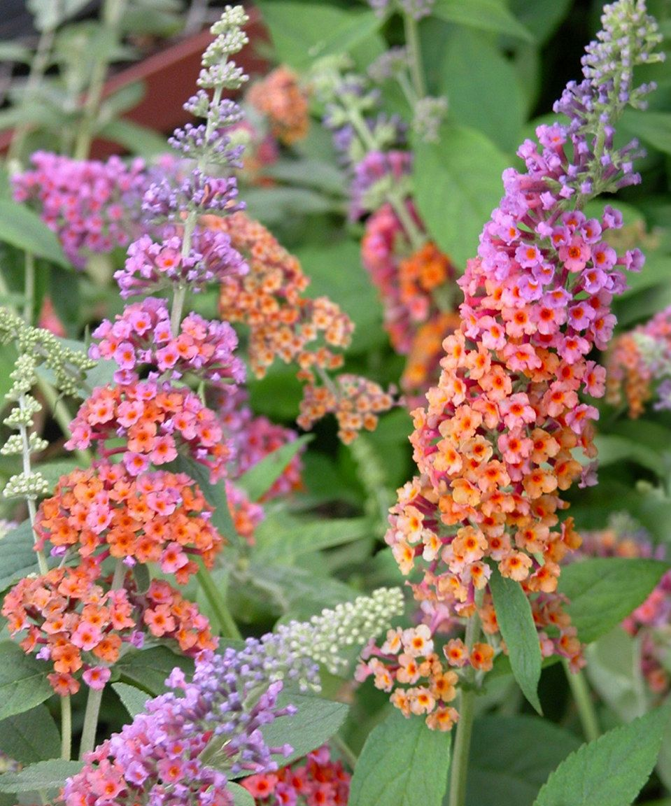 Take A Look At This Live Bi Color Butterfly Bush Set Of Two Today Butterfly Bush Plants Butterfly Garden