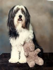 Bearded Collie Dog Photography Bearded Collie Collie Dogs