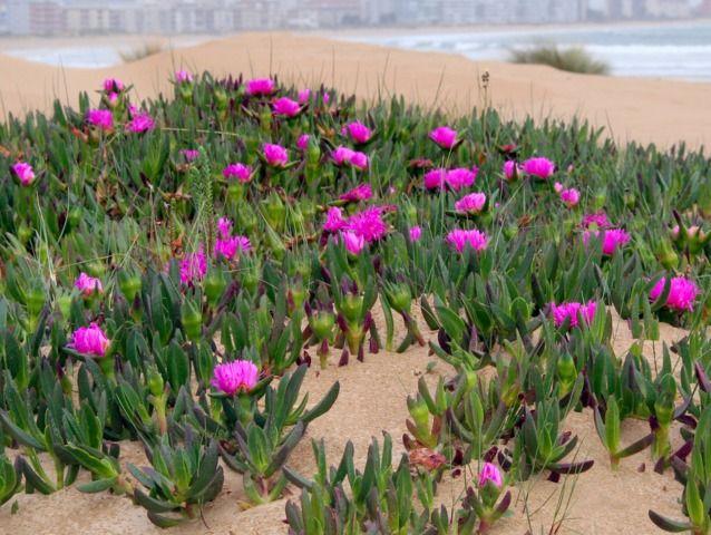 Carpobrotus Acinaciformis Manuel Flickr Com Plantes Grasses