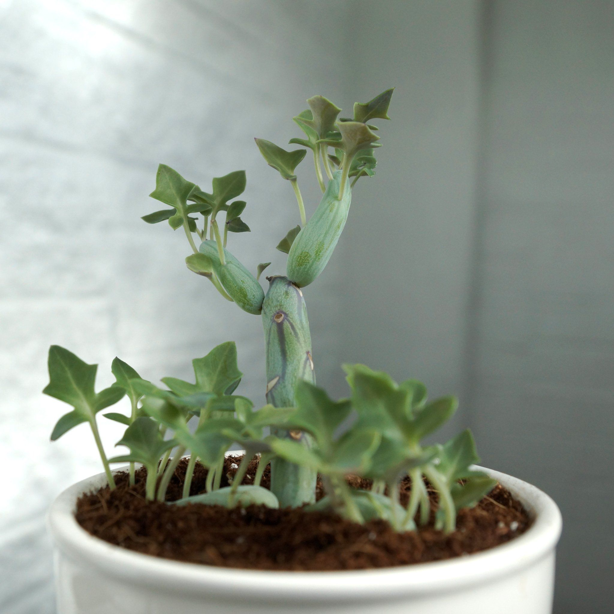 This is a very interesting and odd succulent! This plant
