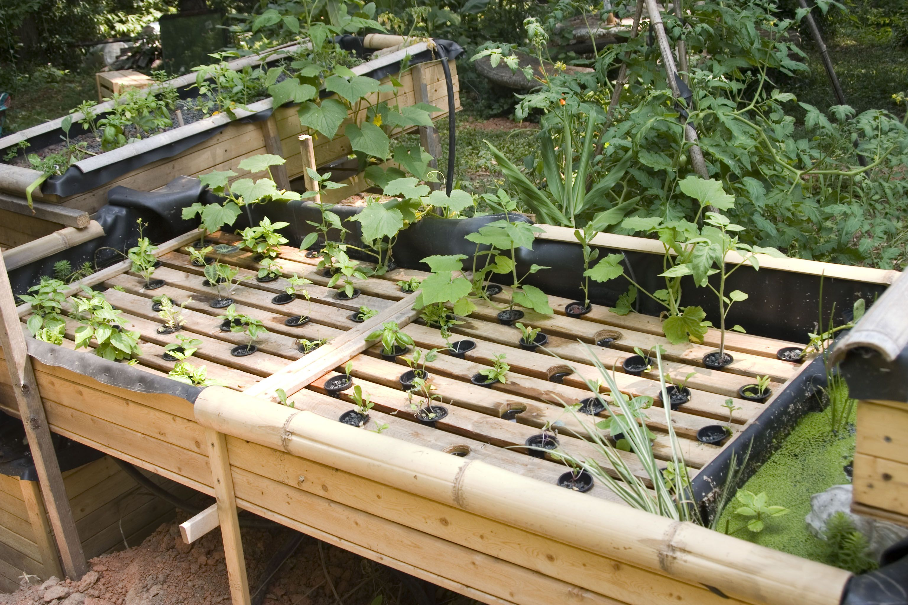 Fish aquaponic garden system visit my personal diy for Fish used in aquaponics