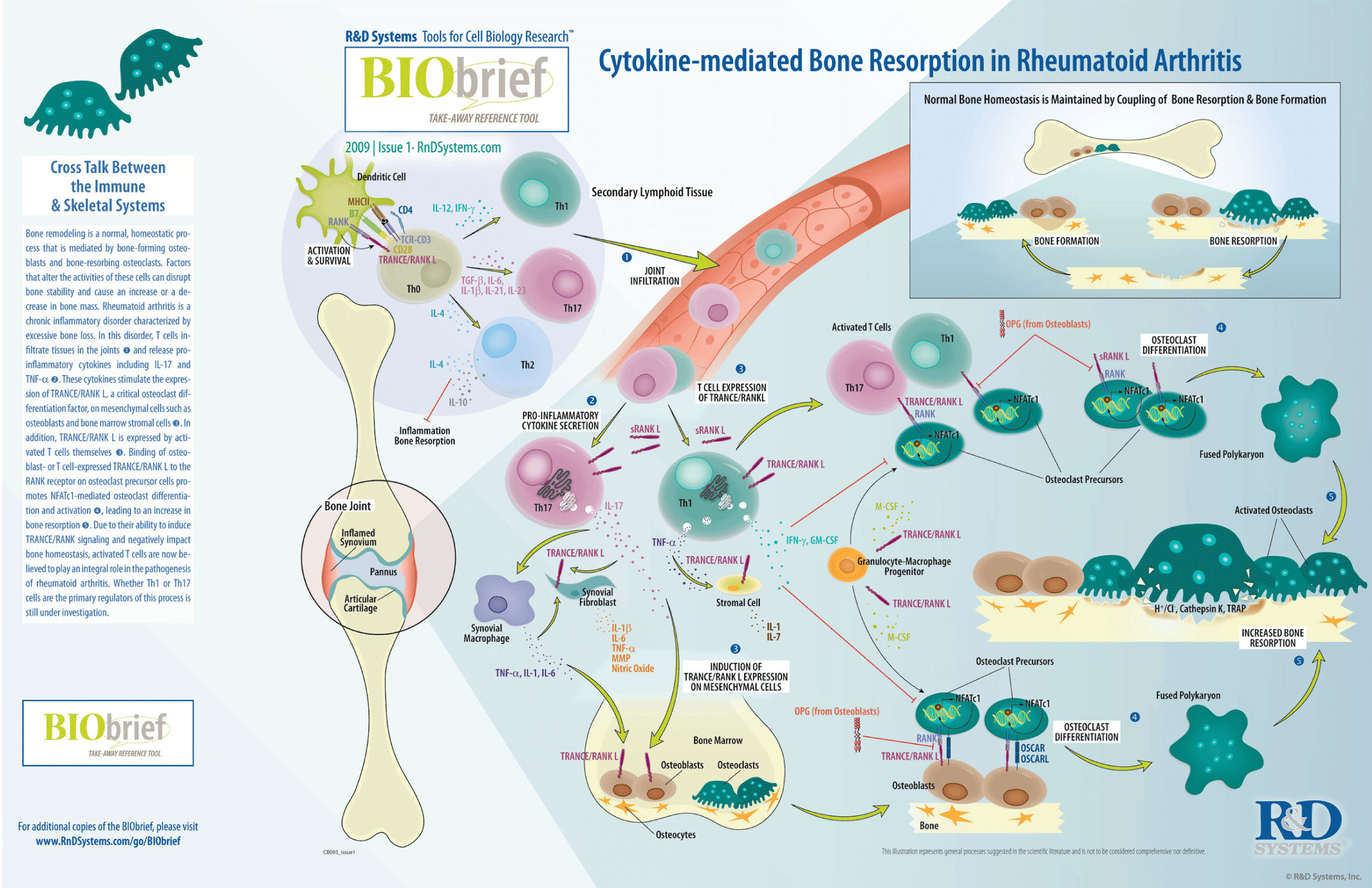 39++ Role of osteoblasts and osteoclasts in osteoporosis viral