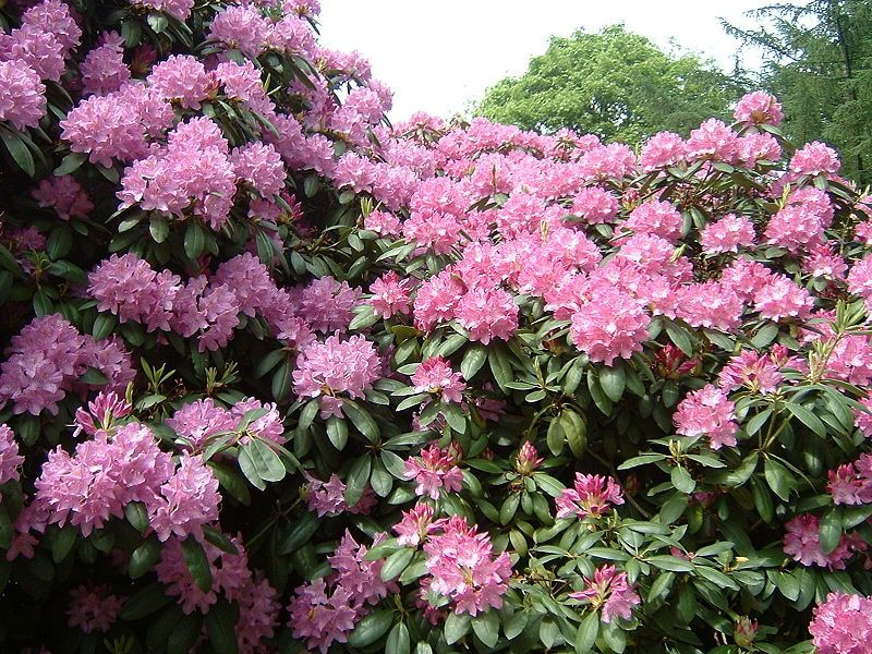 Rhododendron Plant Care Garden Guides