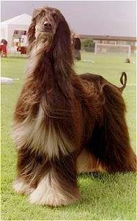 Afghan Hound  (Baluchi Hound) (Sage Baluchi) (Tazi) (Afghanischer Windhund) (Levrier Afghan) (Lebrel Afgano)