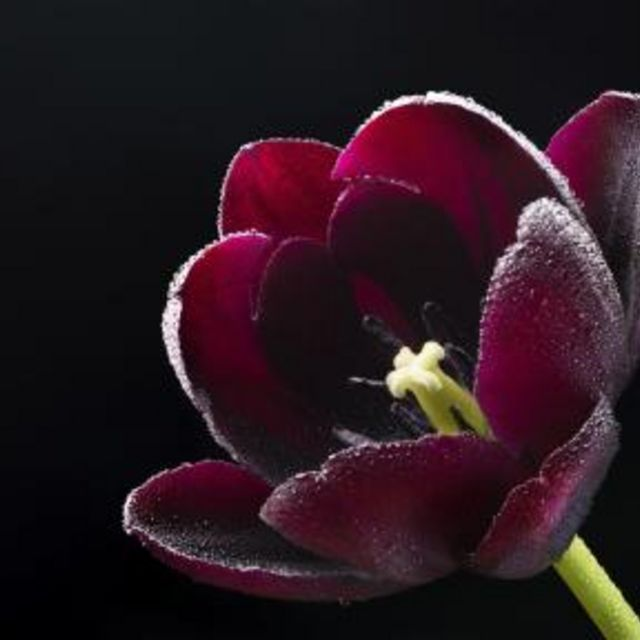 Choose tulip colors that will complement your decor for the most impact.