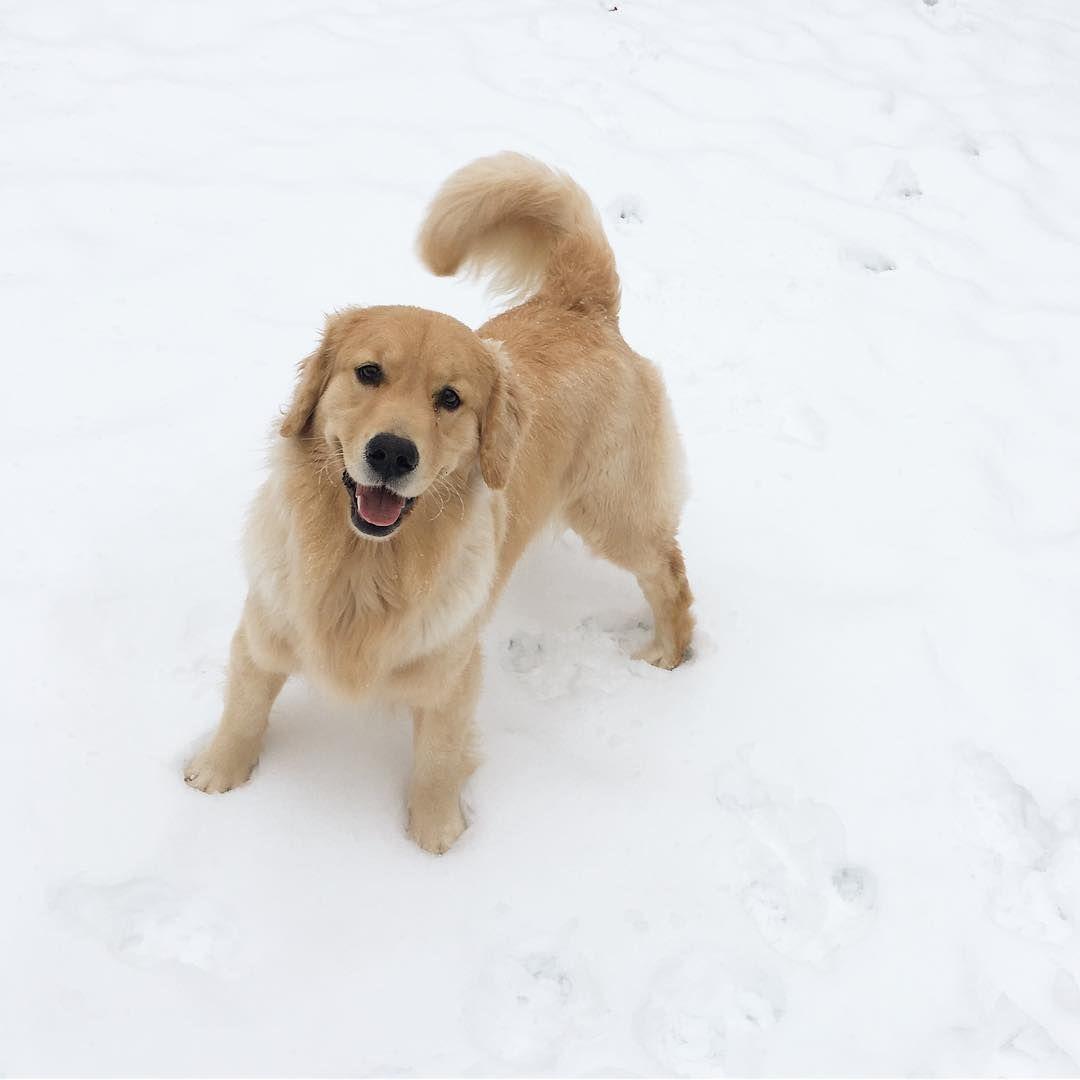 Coconut Goldenretriever Dogs Golden Dog Snow Dogs