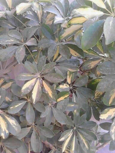 شفليرا نبات ظل Plants