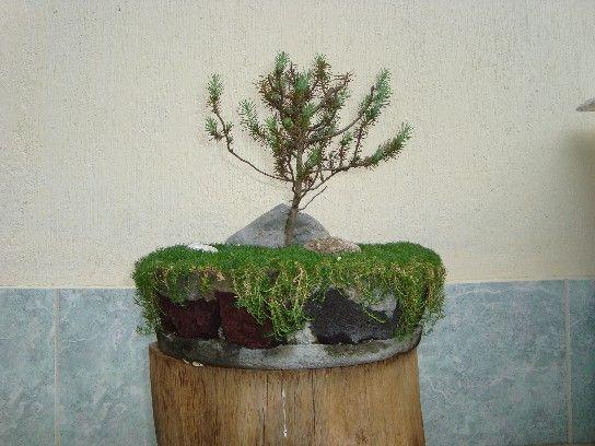 Pinus Pinea O Pino Piñonero ¿como puedo engrosar el tronco?