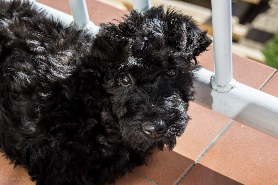 Pin on bardo kerry blue terrier