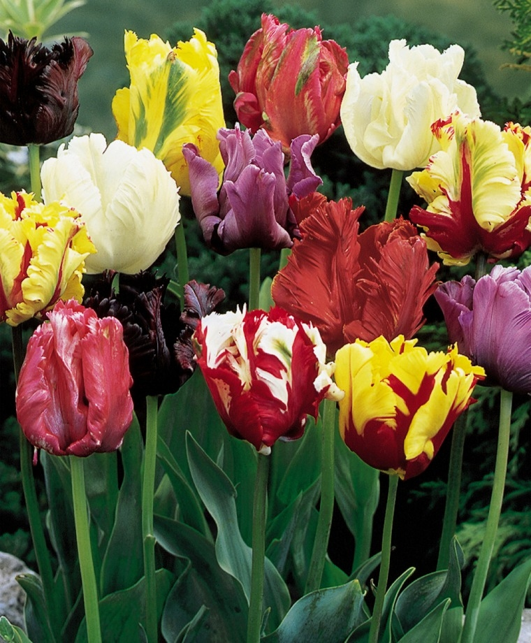 The Parrot Tulip Mixture In 2020 Bulb Flowers Parrot Tulips Tulip Bulbs