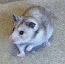 Our Clients Syrian Hamster Hamster Hamster Species