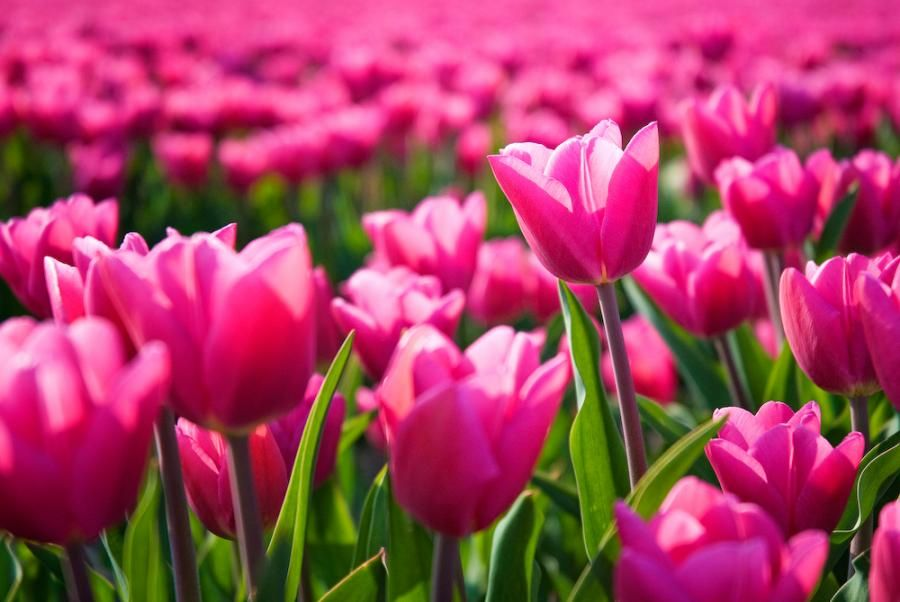 Dutch Delight By Allardone Tulips Flowers Pink Holland Uploaded By Skip Flowers Pink Tulips Beautiful Flowers