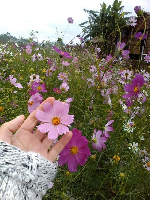Zone 3 Flowers And Plants Glowing Flowers Cosmos Plant Cosmos Flowers