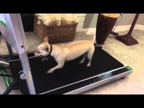 Peoria Dog Training K9katelynn Teaches Chica Chihuahua Mix