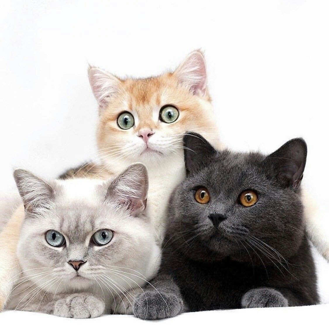 If This Isn T The Cat Version Of Norman Emma And Ray The Promised Neverland Cute Cats And Kittens Cute Cats Cats
