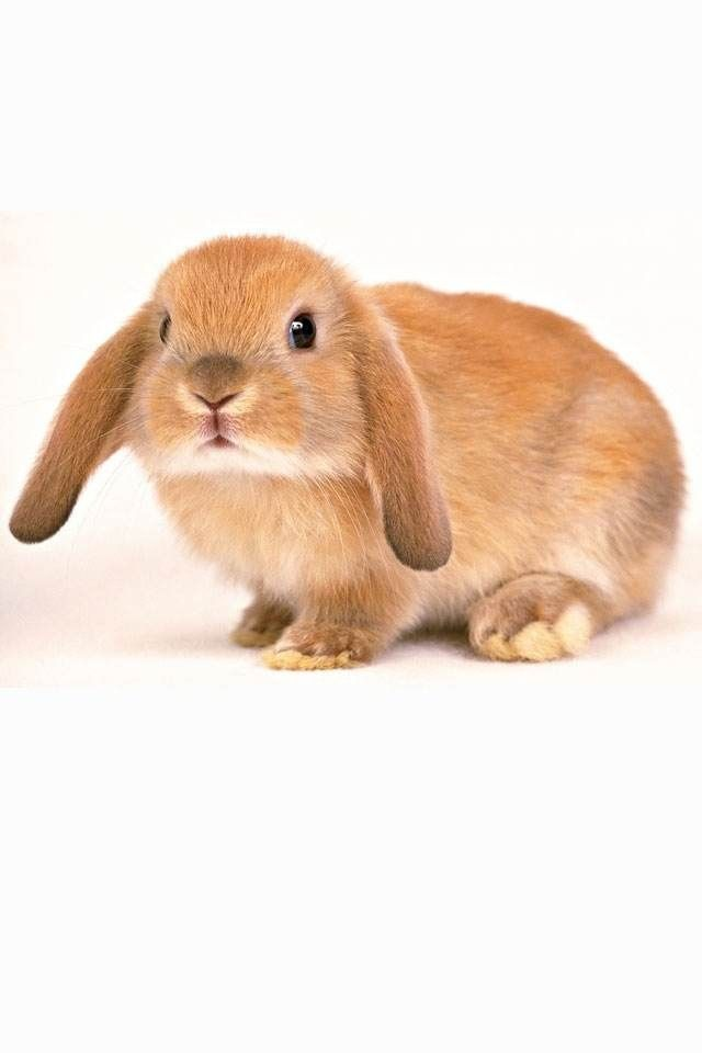 Bunnie Rabbit Wallpaper Rabbit Photos Pet Rabbit