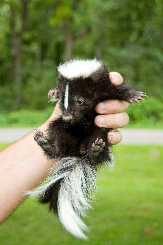 Cute Lil Stinker 3 Baby Skunks Animals Beautiful Cute Baby Animals