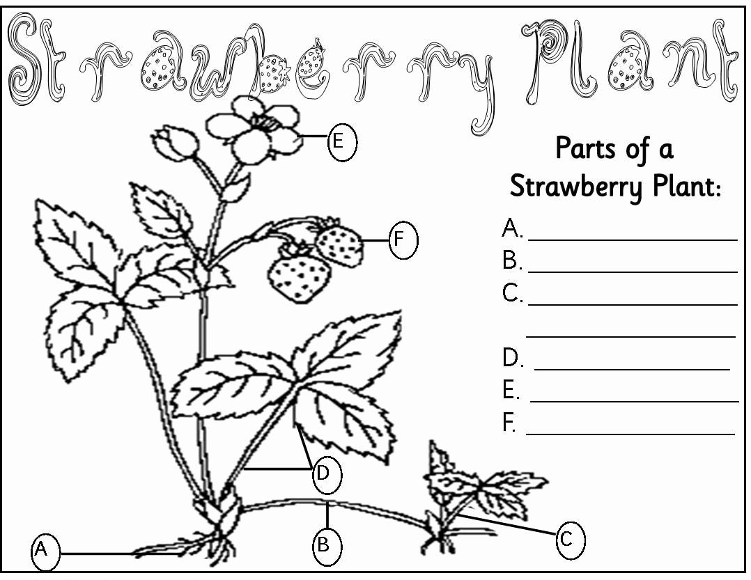 Parts Of A Flower Coloring Page Inspirational Strawberry