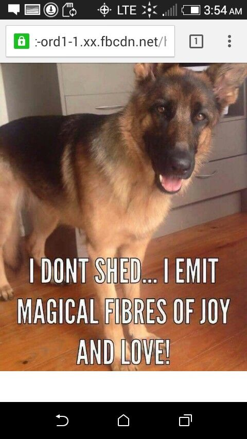 Pin By Lauriesee2 On Loving Beautiful Regal German Shepherd German Shepherd Dogs Shepherd Puppies Funny Animal Pictures