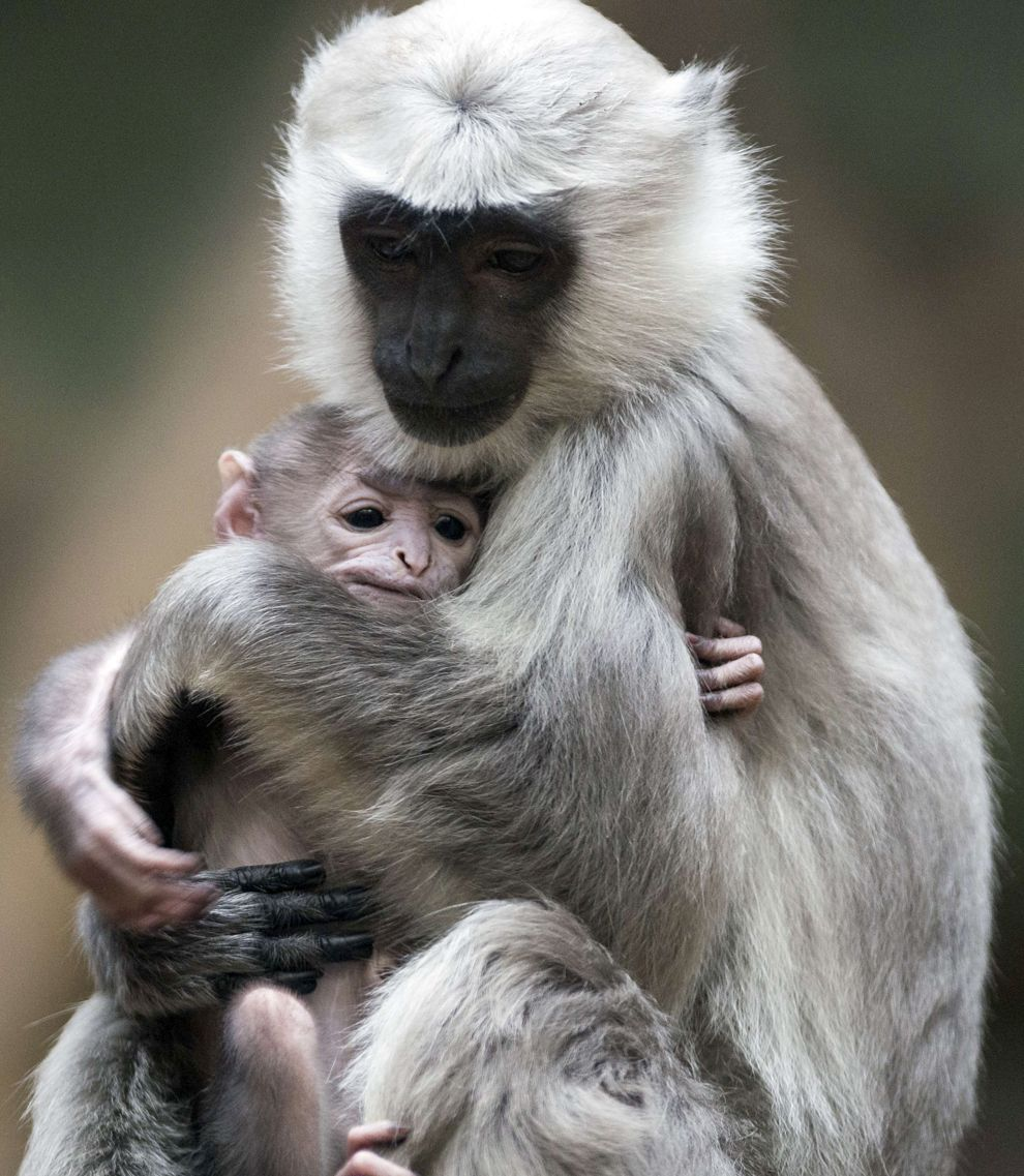 Gray langur mother Sally holds her baby in its enclosure in Berlin's Zoo in Berlin. Gray langurs live in a community in which a single male lives together with several females and their offsprings. (JOHANNES EISELE/AFP/Getty Images)