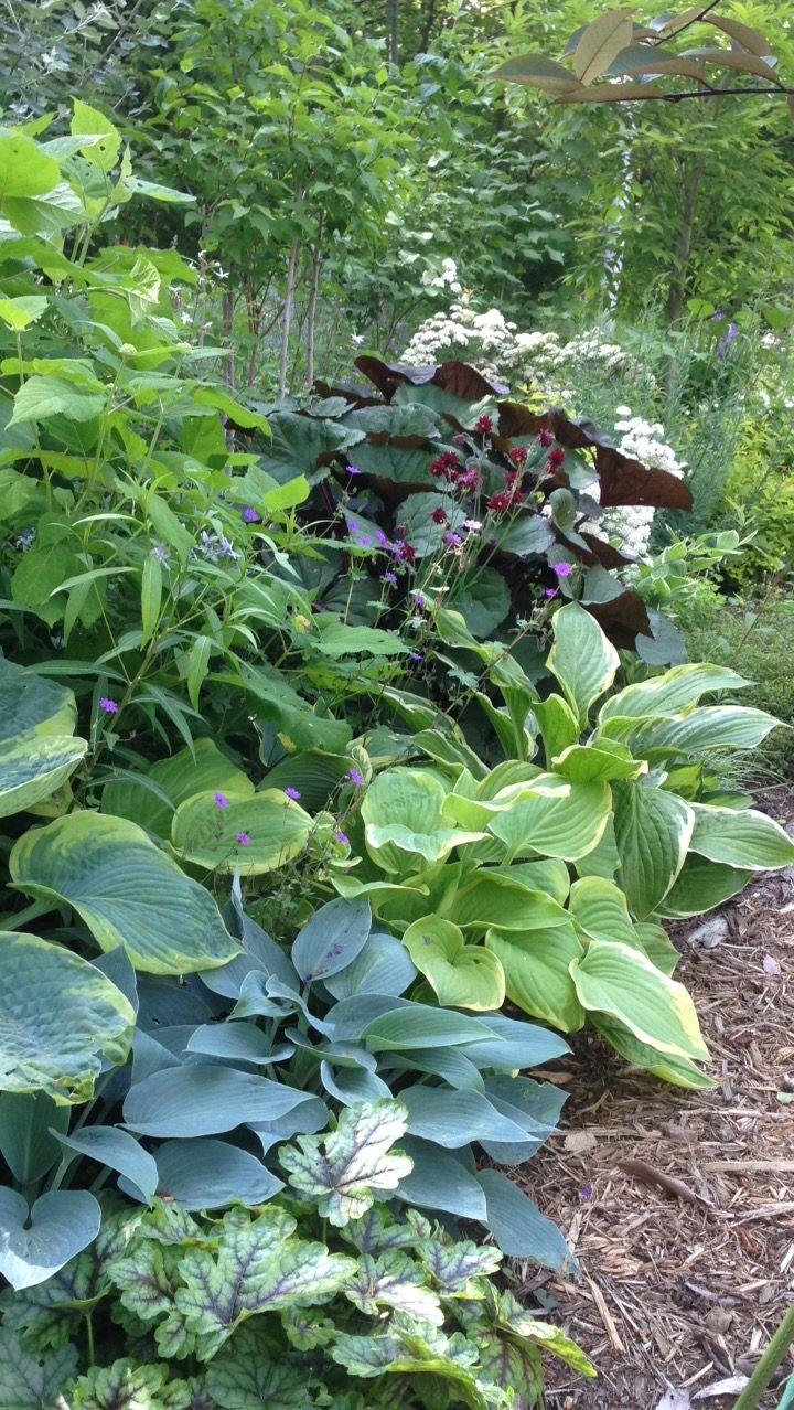 ホスタ リグラリア ホスタ 庭 植物