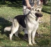 German Shepherd Strong And Loyal German Sheperd Dogs Silver