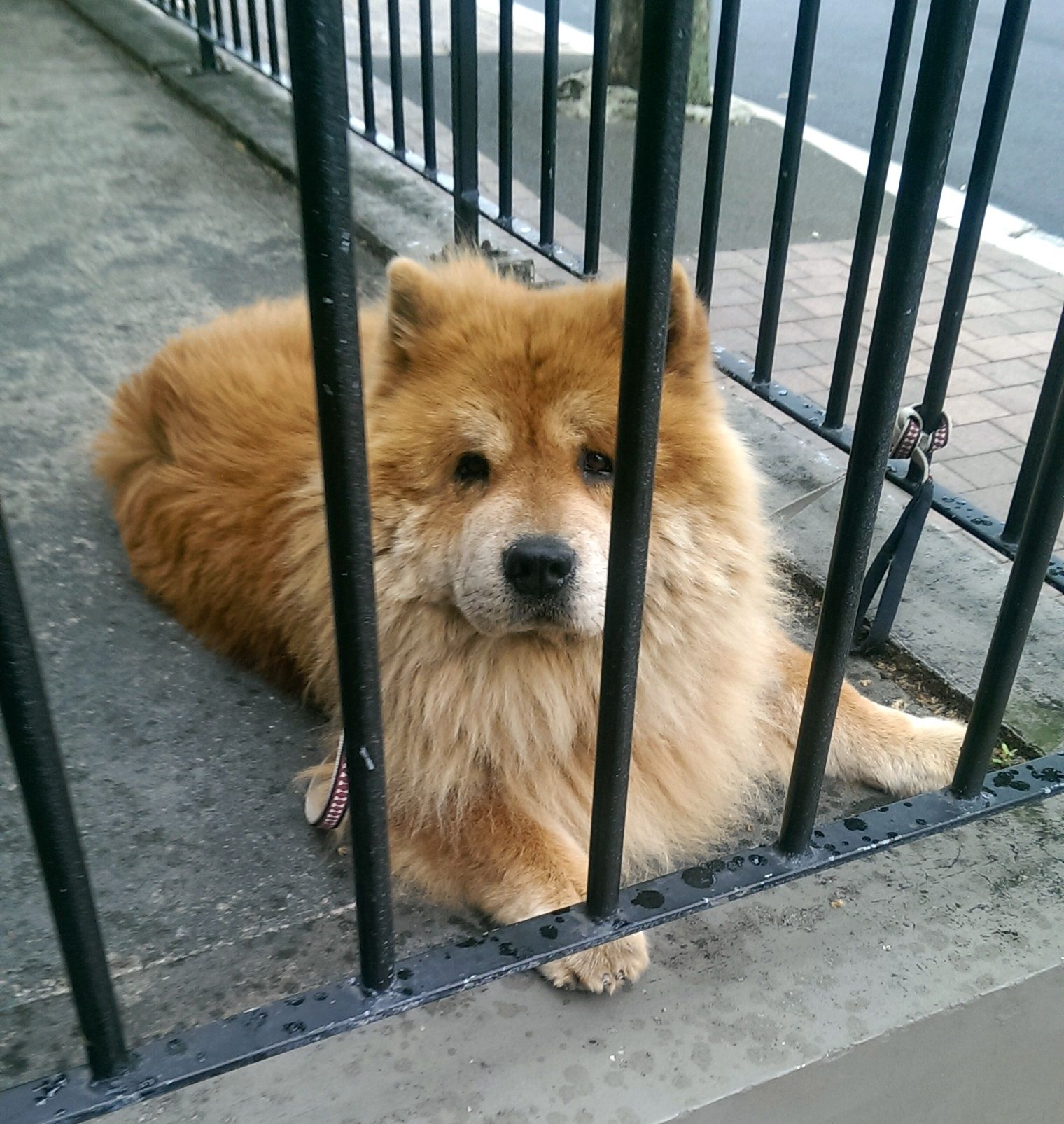 Name Unknown Breed Chow Chow Mood Why Have You Put Me In Jail
