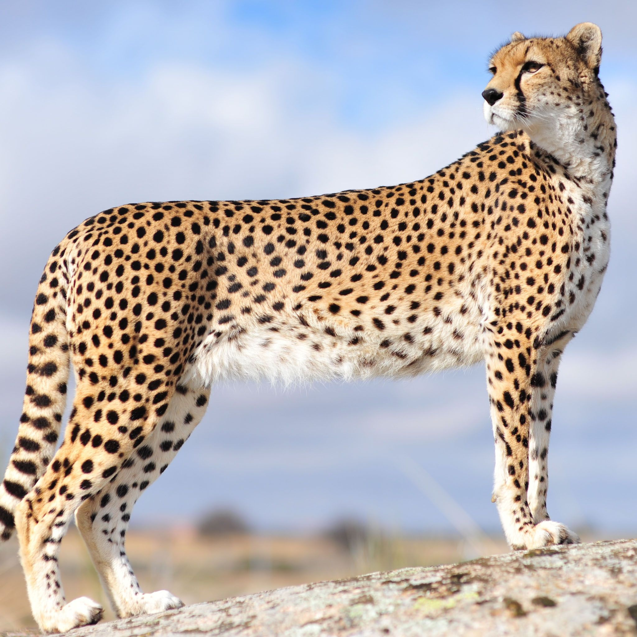 Majestic Cheetah Cat Tap to see more cute animal iPhone
