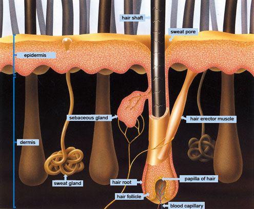 hair follicle | A&P | Pinterest | Anatomía, Estilista y Huyendo