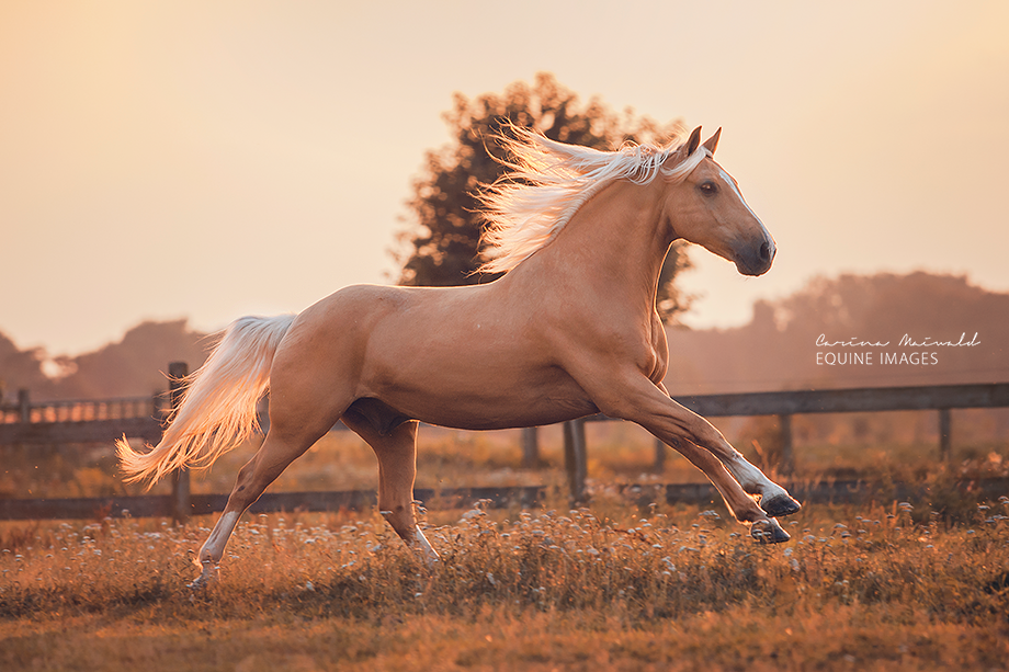 Stunning picture of a palomino