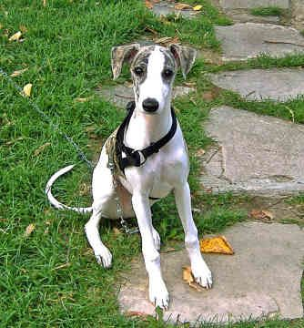 Different Coloring Than My Cute Whippet But With The Same Sweet