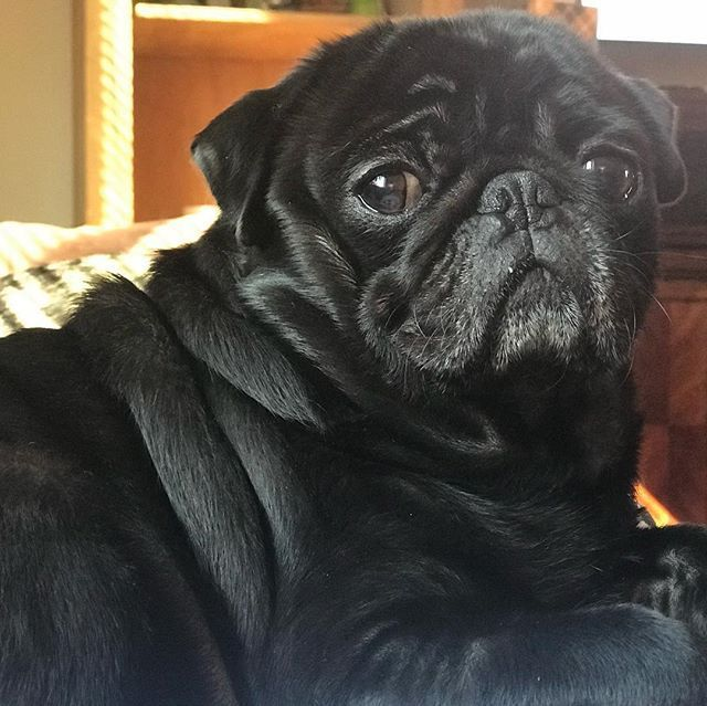 Momma said I was oh so handsome in dis pic pugs