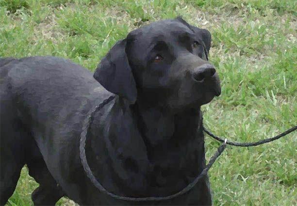 Black Lab Loyal Dog Breeds Lab Puppies Puppies