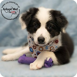 Troy Oh Border Collie Meet Rocco A Puppy For Adoption Http Www Adoptapet Com Pet 13203917 Troy Ohio Border Collie Puppy Adoption Border Collie Pets