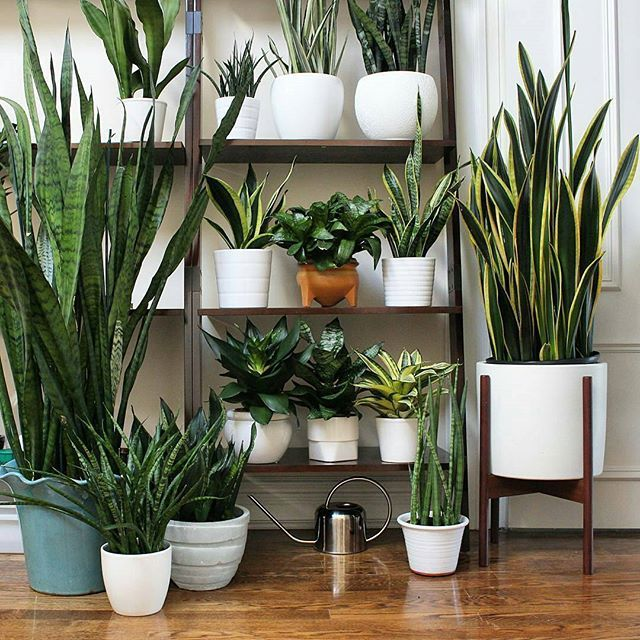 snake plants b o t a n i c a l pinterest snake plant