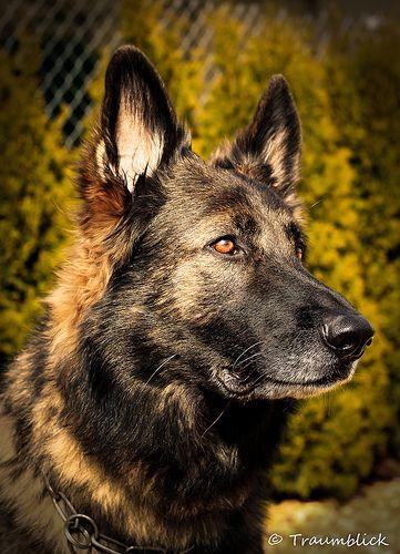 Deutscher Schäferhund Schäferhunde, Hunde, Hunderassen