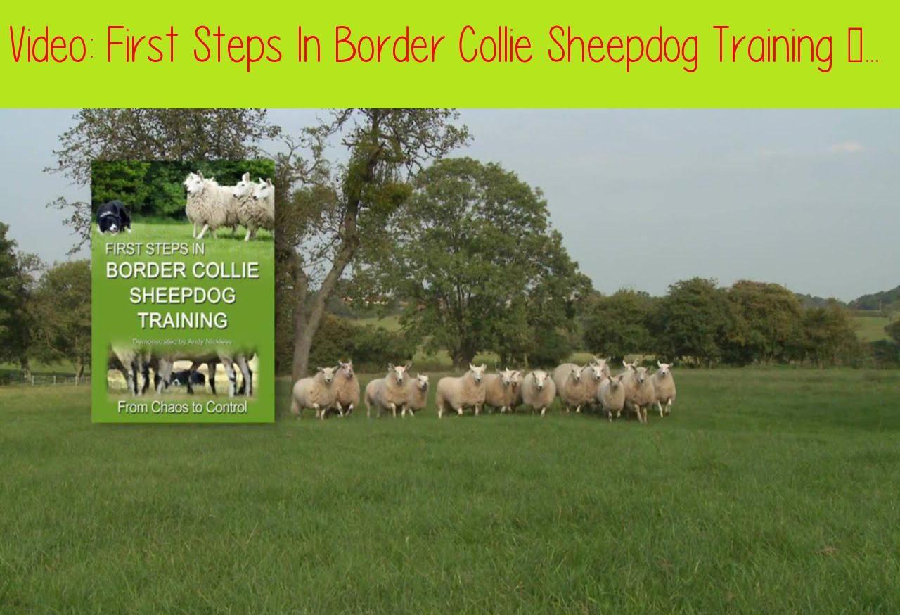 First Steps In Border Collie Sheepdog Training Teaching Herding