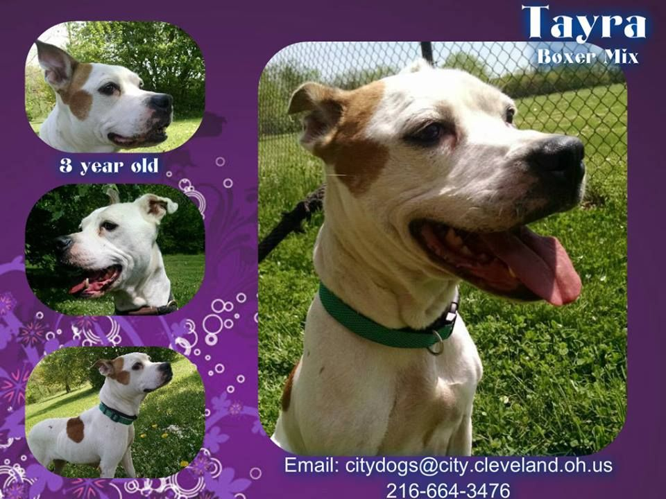 Cleveland Pitties May 26 Edited Tayra Needs A Foster Rescue This City Dog Is Scared At The Shelter She Will Benefit Tremend City Dog Boxer Mix Pitties