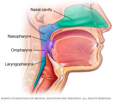 Parts Of The Throat Pharynx Ailmentsdiseases Human Body