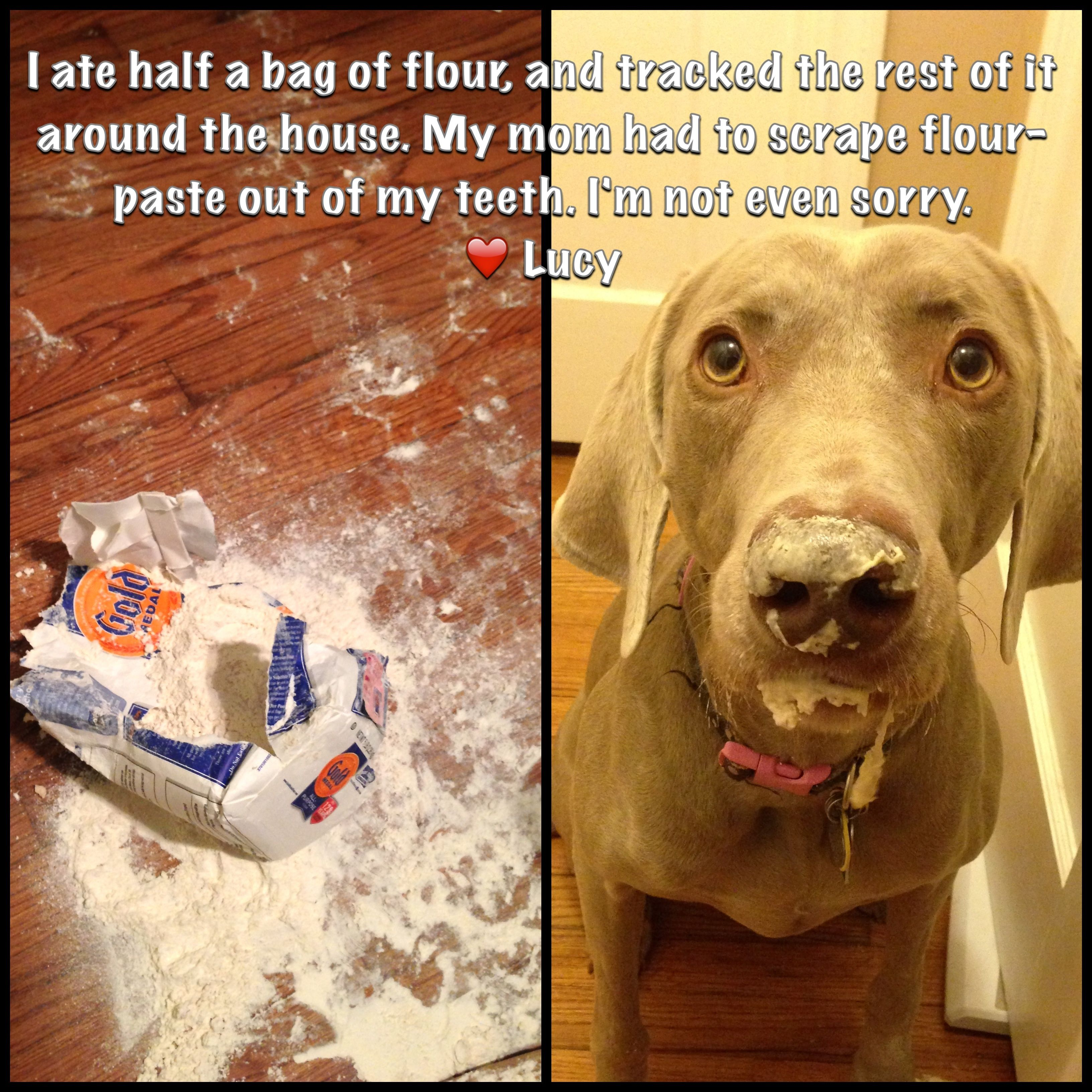I Can T Be Trusted Alone Weimaraner Funny Weimaraner Puppies