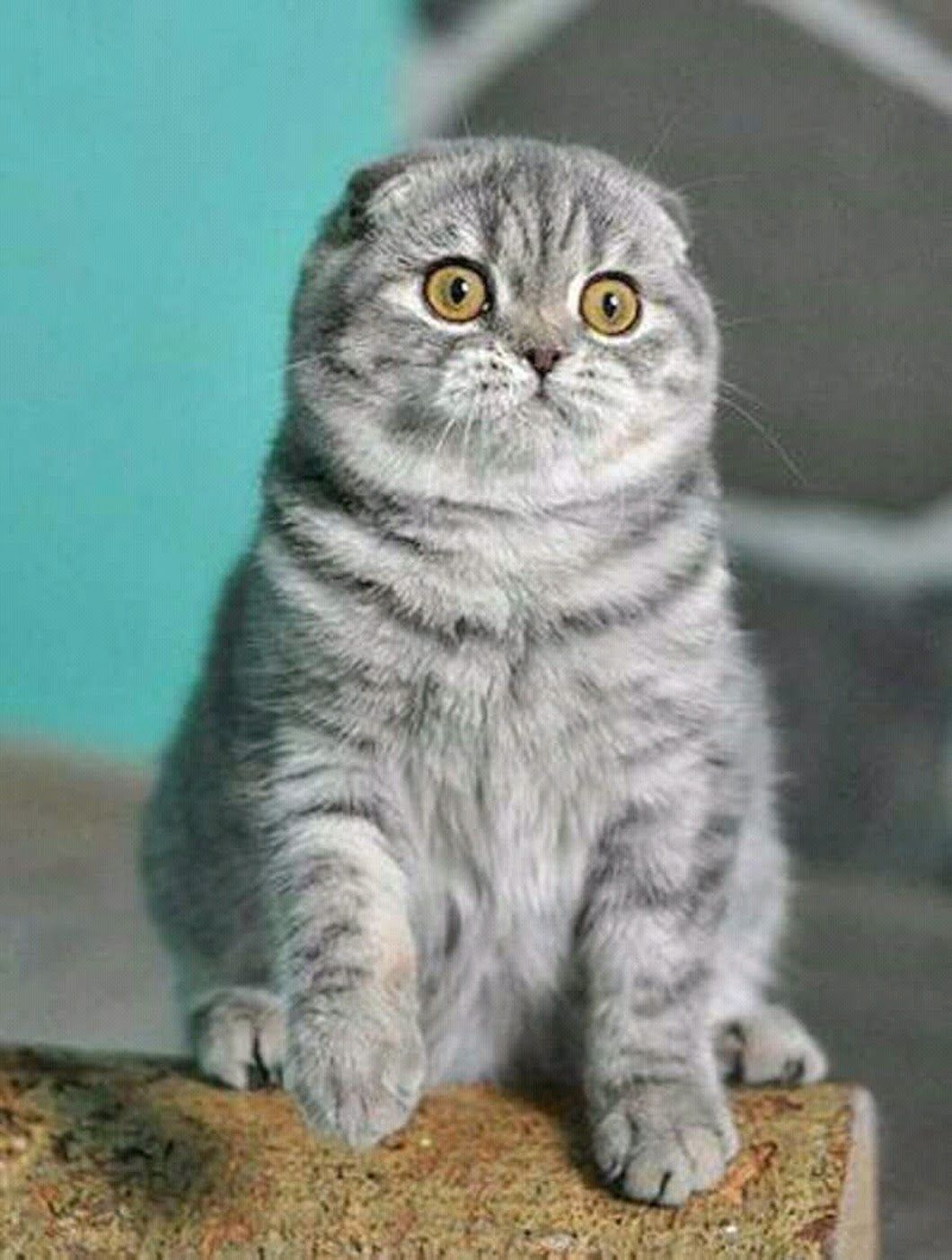 Scottish Fold Scottishfold Cat Animal Animals Cats Cutecat