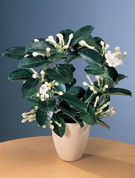 madagascar jasmine additional common names wax flower. Black Bedroom Furniture Sets. Home Design Ideas