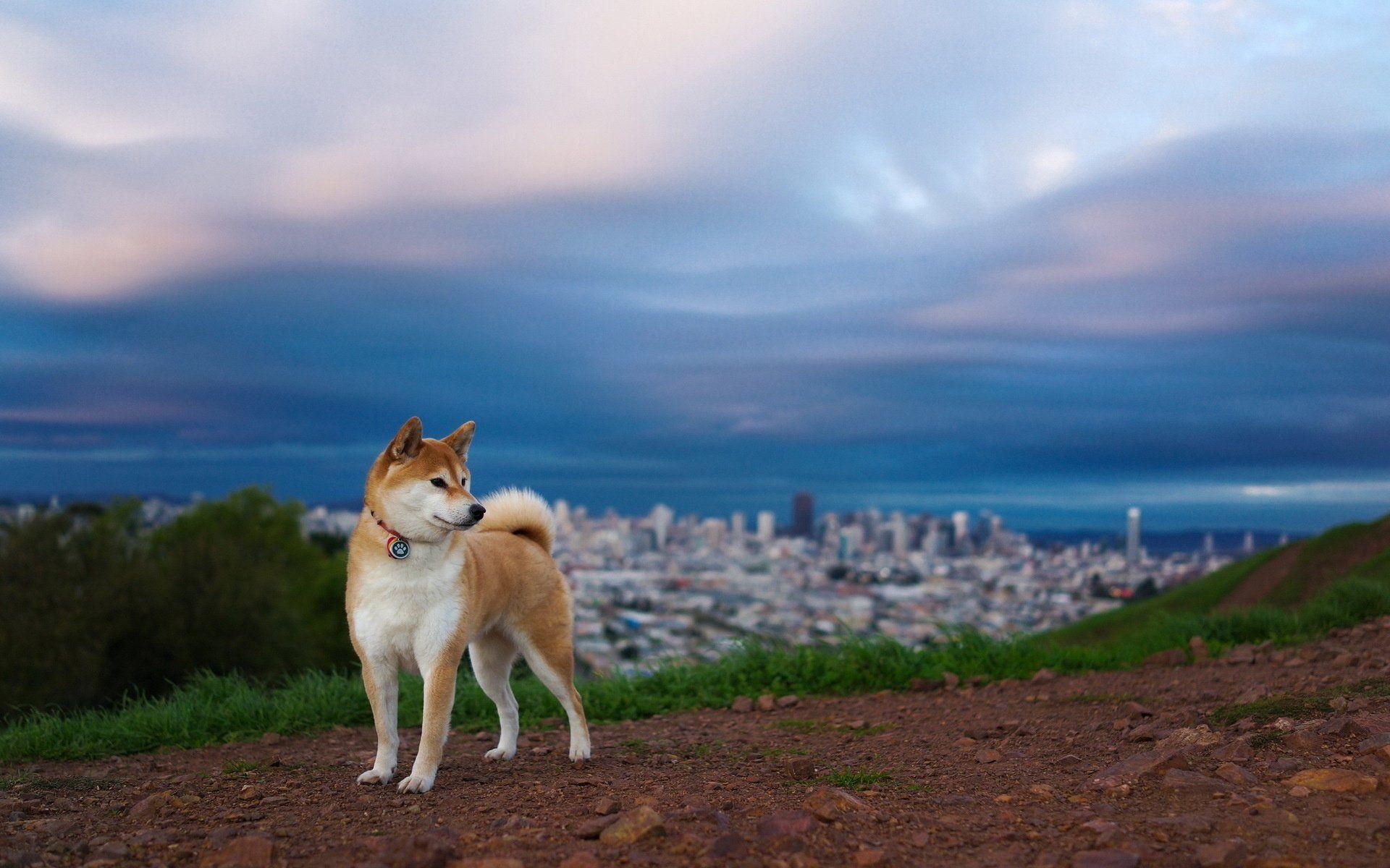 Shiba Inu Wallpapers Dog Wallpaper Shiba Inu Shiba Inu Dog