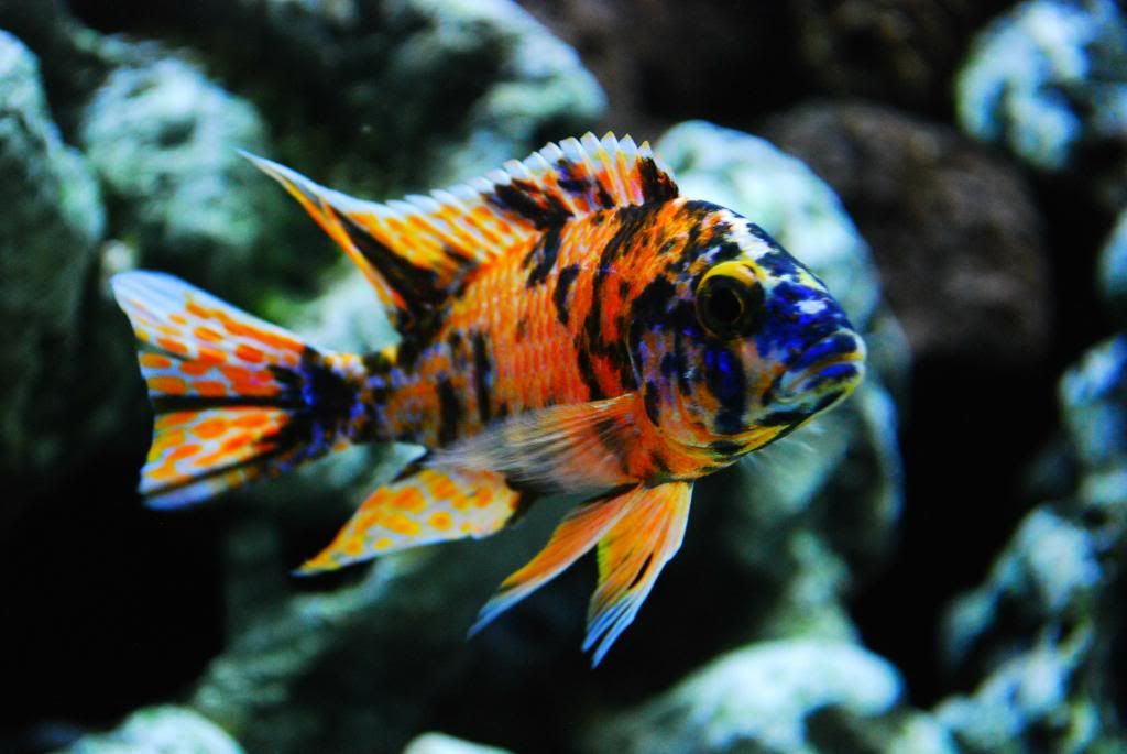90 gallon african cichlid poor mans saltwater tank for Cichlid fish tank