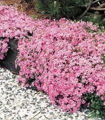 phlox mousse 39 moerheimii 39 jardinage pinterest couvre. Black Bedroom Furniture Sets. Home Design Ideas