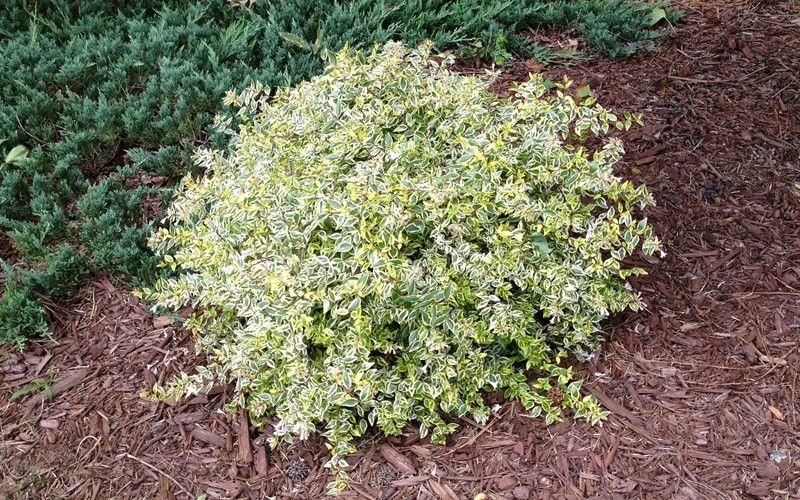 Lemon Lime Dwarf Abelia Abelia Grandiflora Lemon Lime From