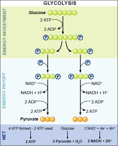 TJ. Glycolysis (from glycose, an older term for glucose + -lysis degradation) is the metabolic pathway that converts glucose C6H12O6, into pyruvate, CH3COCOO− + H+.
